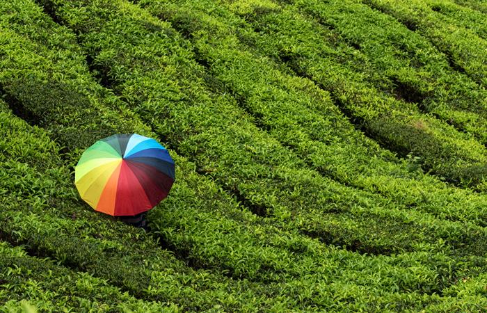 Um homem com um guarda-chuva colorido percorre as plantações de chá em Munnar, Kerala, durante as chuvas das monções