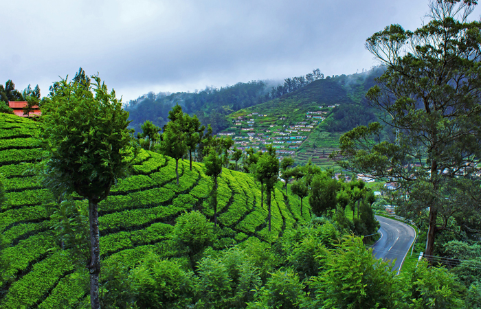 The beautiful tea plantations across the quaintresort town of Ooty in Tamil Nadu. The serene hillstation is particularly beautiful during the monsoon season